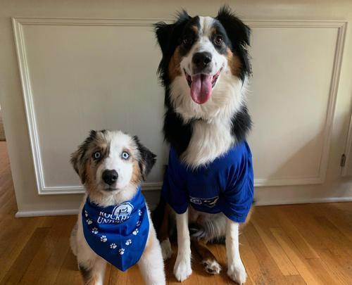 Two Australian Shepherd dogs wearing RU spirit wear and a blue bandanna.